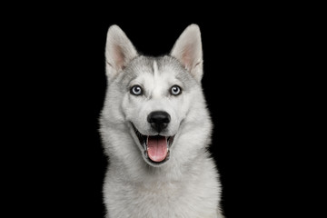Happy Portrait of Husky Puppy Isolated on Black Background, front view