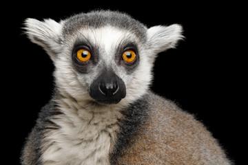 Close-up Portrait of Ring-tailed Lemur Madagascar animal, Isolated on Black Background
