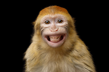Funny Portrait of Smiling Barbary Macaque Monkey, showing teeth Isolated on Black Background