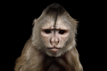 Close up Portrait of Angry Capuchin Monkey Isolated on Black Background