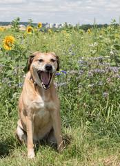 Labrador hellbraun