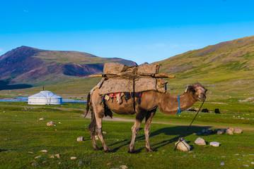 Kamel und Ger Jurte in der Mongolei