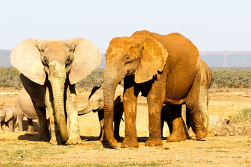 Baby elephant hiding between the other elephants