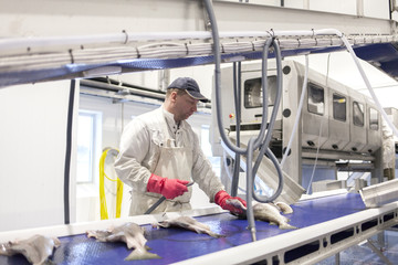 A worker cleans freshly caught cod