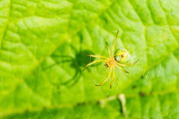 Cucumber green spider (Araniella cucurbitina) in its web