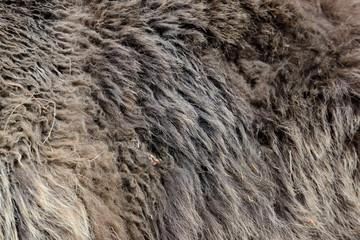 Wall Mural - Texture of brown bear fur