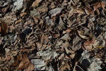Hojas marrones de árbol en otoño en el suelo