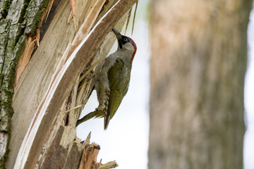 Green Woodpecker (Picus viridis).