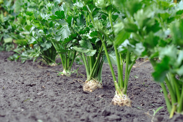 close-up of celery plantation (root vegetable) in the vegetable garden