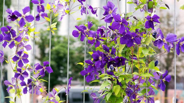 Purple clematis on a metal trellis