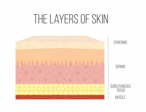 Skin layers. Healthy, normal human skin