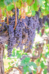 Zinfandel grapes draped over a vine at a winery vineyard