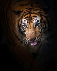 Close up tiger.