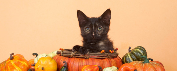 One tortie tabby kitten in a pumpkin shaped basket looking directly at viewer surrounded by miniature pumpkins, squash, gourds, orange table and background. Autumn harvest Thanksgiving. Banner format