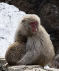 Sleepy snow monkey mom and her baby. These Japanese macaques are seated on a rock ledge in front snow.