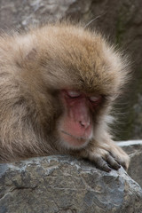 Snow monkey or Japanese macaque taking a nap with his head resting on his hand. He is perched on a boulder.