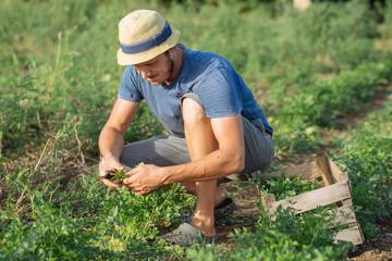 Farmer harvesting fresh crop of parsley on the field at organic eco farm
