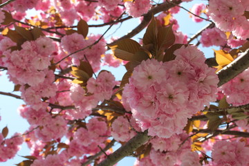 Cherry blossom tree at full bloom in spring.