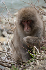 Snow monkey or Japanese macaque with a raised paw sitting on hillside among vegetation.