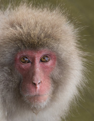 Snow monkey or Japanese macaque with red face and water dripping from its chin. Shallow depth of field.