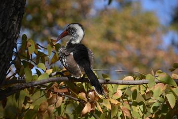 Red billed hornbill, Okavango Delta UNESCO World Heritage Site, Moremi Game Reserve, Botswana, Africa