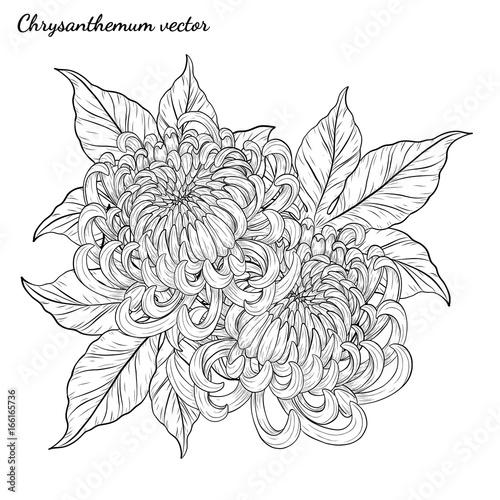 Chrysanthemum Flower Line Drawing : Quot chrysanthemum vector on white background rysanthemum