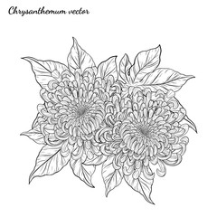 Chrysanthemum vector on white background.Chrysanthemum flower by hand drawing.Floral tattoo highly detailed in line art style.