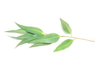 close up Eucalyptus leaves on white background
