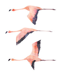A flying flock of flamingo. Watercolor isolated illustration.  Hand drawn print