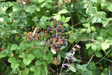 Blackberries on bush in English hedge