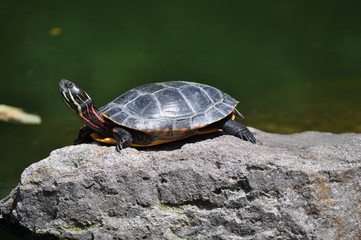 Colorful Box turtle sunning on a rock in Pennsylvania