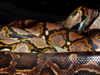 closeup snake skin Tiger Python (python molurus bivittatus)