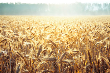 Wheat field in the morning at sunrise in the sun. Ripe gold ears of cereals glow in the rays of sunlight.