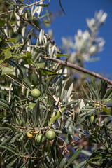 Olive branches on a blue sky