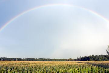 Rainbow over corn field in summer after rain