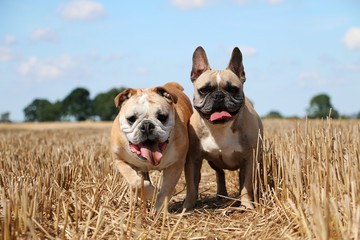 zwei bulldoggen im stoppelfeld