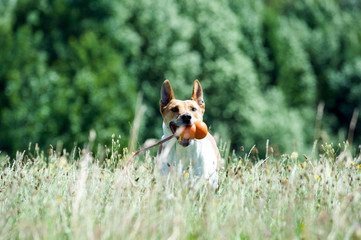 Mischlingshund läuft mit Spielzeug durch hohes Gras
