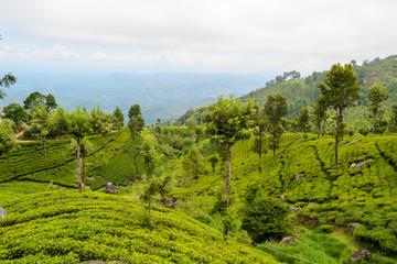 Die Teeplantagen von Haputale