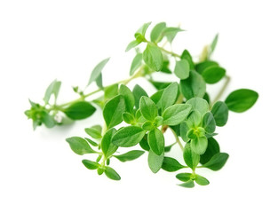 Thyme fresh herb .