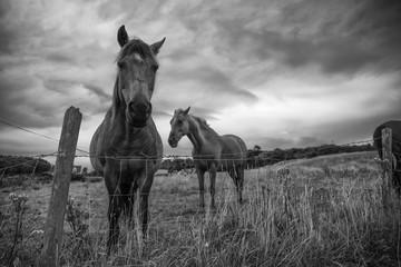 Irish Horses in Donegal, Ireland - Black and white