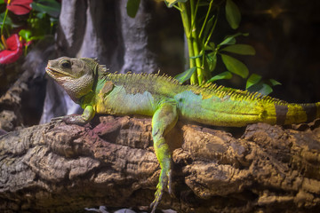 A green iguana standing on a branch Wall mural