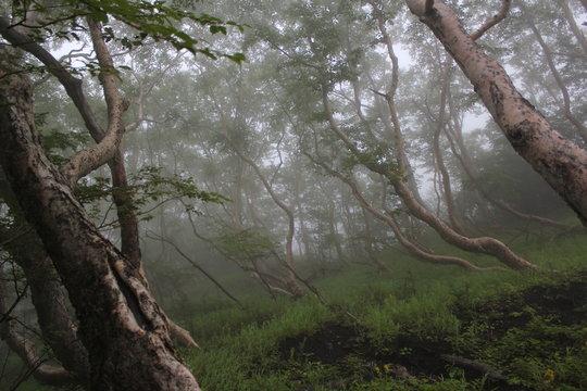 forêt au pied du mont fuji, arbre avec brouillard