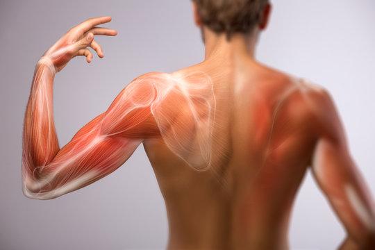 Human arm anatomy.
