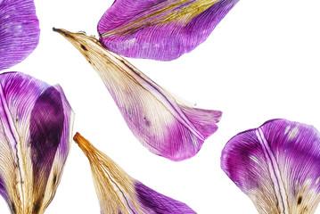 iris petals closeup