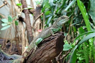 Lizard in zoo in Amsterdam