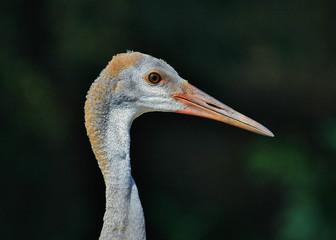 Juvenile Sandhill Crane with an eye-on-you