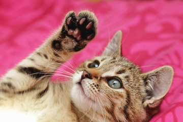 jeune chaton tigré tabby dans maison
