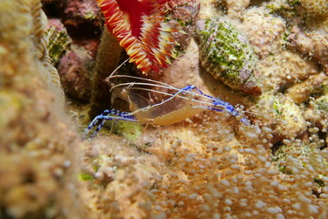 Ancylomenes pedersoni, Pederson cleaner shrimp with eggs under its body, Caribbean sea