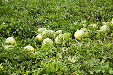 Ripe watermelons on the field in a row.
