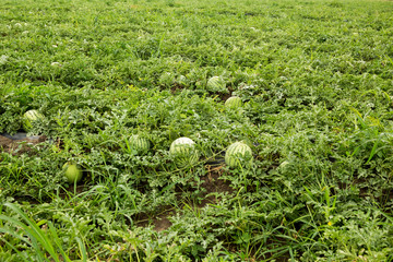 Ripe watermelons on the field. Harvesting.